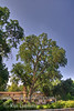 Stately Valley Oak (Quercus lobata) at a home in one of the lovely older sections of Visalia, California.