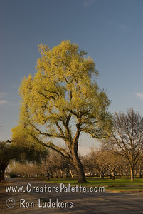 Sun catching new spring leaves on Valley Oak (Quercus lobata). On Road 132 just north of Avenue 264 in Visalia, CA