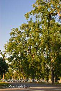 Valley Oaks (Quercus lobata) in Mooney Grove, Visalia, CA