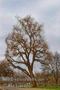 Valley Oak (Quercus lobata) along Road 132 just north of Avenue 264. Visalia, CA