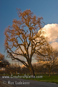 Sun catching dormant branches on Valley Oak (Quercus lobata). On Road 132 just north of Avenue 264 in Visalia, CA