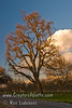 Sun catching dormant branches on Valley Oak (Quercus lobata).<br /> On Road 132 just north of Avenue 264 in Visalia, CA