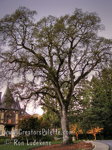 Stunning early morning November (Thanksgiving weekend) view of the Rhine Home at Beringer Winery with its majestic Valley Oak (Quercus lobata)