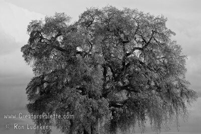 On Christmas Day, 2008, an impressive storm moved through the area and as it was clearing out, this photo was taken.  This Quercus lobata (Valley Oak) is in a production field of L.E. Cooke Co.