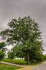 Shumard Oak taken at Arlington National Cemetery