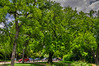 Shumard Oak (Quercus shumardii)<br /> Similar to Scarlet Oak.  Tolerates moist, acidic, poorly drained soils.  Moderate growth rate, eventually attains a height of 50-90 feet with a 40-50 foot spread.  Bark is gray, ridged, and furrowed.  Leaves are a bright green with deeply cut lobes.  In fall, the foliage turns delightfully red.  Cold hardy to USDA Zone 5 although some say 4.<br /> Image taken at Fort Worth Botanical Garden 5-13-2012