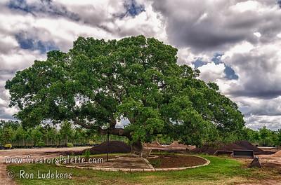 Quercus stellata (Post Oak)  Image taken at Backbone Valley Nursery in Marble Falls, Texas 5-9-2012