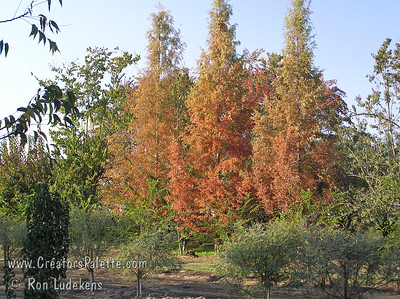 Dawn Redwood - Metasequoia glyptostroboides - Fall color budwood orchard photo. Deciduous conifer with soft, delicate, Redwood-like foliage.  Has attractive pink new spring growth.  Takes sun or part shade.  Fast growing.  Once established can take wet soils.  Reddish-brown fall color.  Thought to be extinct but was discovered growing in remote regions of China in the 1940's.  It is a prehistoric plant with leaf samples having been found in fossils. Mature height is 50-90 feet with a spread of 15-25 feet.  Cold hardy to U.S.D.A.  Zone 5.