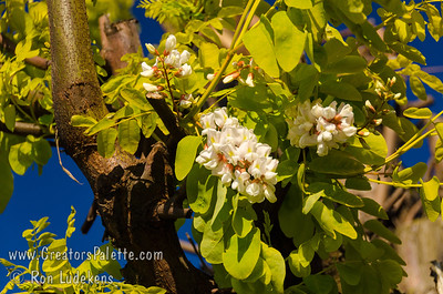 """Frisia Gold Locust - Robinia pseudoacacia 'Frisia' Rapid growing yellow-leaf black locust. New growth is nearly orange. New wood is red. White flowers 1/2"""" - 3/4"""" long hang in dense clusters. Blooms mid spring to early summer. Deeply furrowed brown bark. Height 30-50 ft., width to 25-30 ft. Drought tolerant. Cold hardy to USDA Zone 4."""