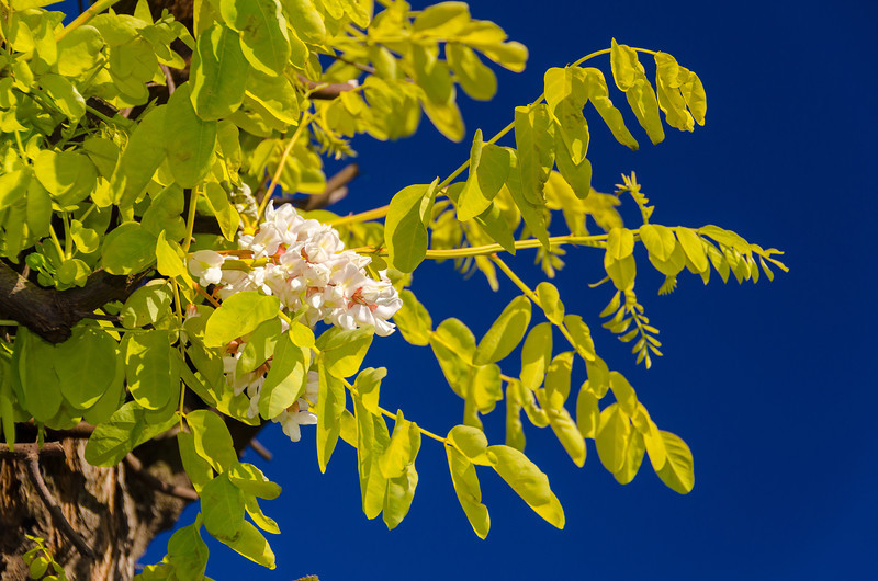 """Frisia Gold Locust - Robinia pseudoacacia 'Frisia'<br /> Rapid growing yellow-leaf black locust. New growth is nearly orange. New wood is red. White flowers 1/2"""" - 3/4"""" long hang in dense clusters. Blooms mid spring to early summer. Deeply furrowed brown bark. Height 30-50 ft., width to 25-30 ft. Drought tolerant. Cold hardy to USDA Zone 4."""