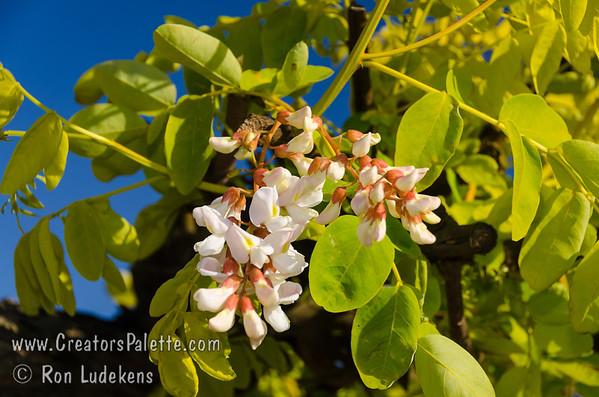 Frisia Gold Locust Bloom