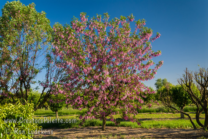 Purple Robe Locust - Robinia pseudoacacia 'Purple Robe'<br /> Large early blossoms, purple-pink bloom as a mature tree.  New foliage bronze red.  Fast growing to 50 feet high, 35 feet wide.  Takes cold as well as hot, dry weather.  Cold hardy to USDA Zone 3.