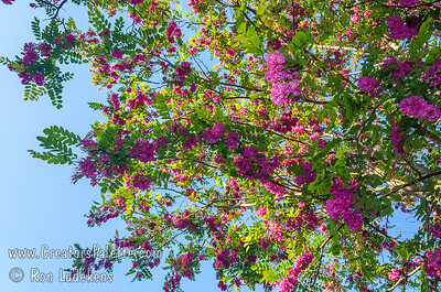 Purple Robe Locust - Robinia pseudoacacia 'Purple Robe' Large early blossoms, purple-pink bloom as a mature tree.  New foliage bronze red.  Fast growing to 50 feet high, 35 feet wide.  Takes cold as well as hot, dry weather.  Cold hardy to USDA Zone 3.