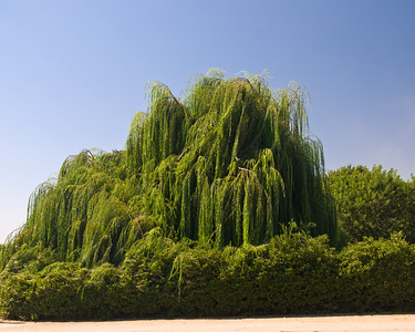 Weeping Willow on Ave 256 near L.E. Cooke Co