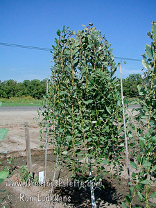 "Weeping Pussy Willow (Salix caprea 'Pendula"") showing production nursery row."