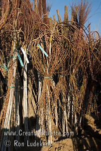 Dormant Weeping Pussy Willow (Salix caprea 'Pendula') in bundles stored in sand beds