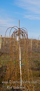 "Weeping Pussy Willow (Salix caprea 'Pendula').  Weeping head top grafted on 5 foot tall understock.  Broad leaves 3"" to 6"" long, dark green above, gray and hairy beneath.  Fat 1"" long, silvery-gray, woolly catkins appear before the leaves in spring.   Cold hardy to USDA Zone 4."