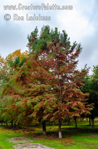 This is not a disease!  The tree turns golden brown in the late fall as it goes dormant.  It will shortly lose all its leaves which allows the sunlight to warm your home or building.  The new foliage in the spring stays soft and beautiful through the spring and summer months.
