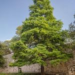 Taxodium distichum (Bald Cypress)