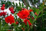 Mardi Gras Flowering Pomegranate (Punica granatum 'Mardi Gras')