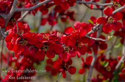 Blood Red Flowering Quince (Chaenomeles speciosa 'Blood Red') Appropriately named for its bold, dark, blood red color.  Single blooms very early each spring.  Great for bonsai.  Prefers excellent drainage.  Deer resistant. 5-6' high and 4' spread. Cold hardy to U.S.D.A.  Zone 5 (some say 4).