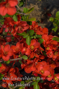 "A dwarf growing bush with orange-red flowers prized for use in bonsai applications as well as for cut flowers,  container gardening and small borders.  A dwarf spreading plant with many short branches, ten year growth will be approximately 12""-18"" tall with an ultimate height of perhaps 24""-30"" tall. Cold hardy to USDA Zone 4B.        Supposedly named after Utamaro who was a famous Japanese woodblock print maker in the late 1700's."