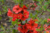"""A dwarf growing bush with orange-red flowers prized for use in bonsai applications as well as for cut flowers,  container gardening and small borders.  A dwarf spreading plant with many short branches, ten year growth will be approximately 12""""-18"""" tall with an ultimate height of perhaps 24""""-30"""" tall. Cold hardy to USDA Zone 4B.       <br /> Supposedly named after Utamaro who was a famous Japanese woodblock print maker in the late 1700's."""