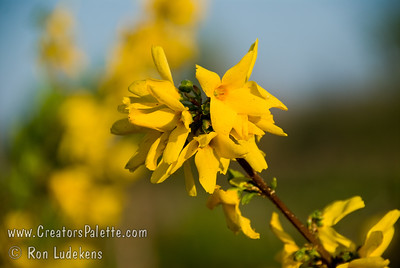 """Beatrix Farrand Forsythia (Forsythia x intermedia).  Exceptionally large, deep canary-yellow flowers.  Flowers frequently 1 1/2"""" to 2"""" across.  Habit is upright and dense to 8-10 feet high and wide.  Cold hardy to USDA Zone 4."""