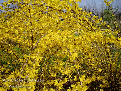 "Beatrix Farrand Forsythia (Forsythia x intermedia).  Exceptionally large, deep canary-yellow flowers.  Flowers frequently 1 1/2"" to 2"" across.  Habit is upright and dense to 8-10 feet high and wide.  Cold hardy to USDA Zone 4."