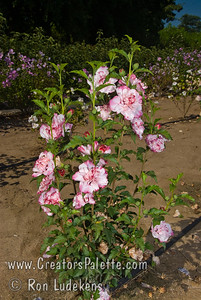 Danica® Althea (Danica® Rose of Sharon) Hibiscus syriacus Stunning variegated blooms of double white flowers with red-pink highlights similar to a Carnation.  Blooms from early summer to first frost.   Growth habit is upright and compact when young. Open and spreading with age.  Mature height 8-10' with 6-8' spread.  Cold hardy to USDA Zone 6 and probably 5. This althea came to us from Rainbow Gardens #3 in San Antonio which got it from Tocquigny's Green Gate garden Center in Sequin, TX.  Joe Tocquigny got it from Willie Gentry probably in the 1980's.