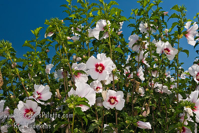 Helene Althea (Hibiscus syriacus 'Helene' ) Single, large, white flowers with prominent magenta red eye. Blooms from late spring to first frost. Mature height 8-10' with 6-8' spread. A National Arboretum selection.