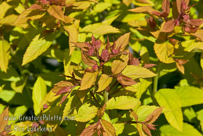 Goldflame Spiraea (Spiraea x bumalda) provides multiple diplays of color.  New foliage emerges bronze-red, turning to golden yellow.  Rosy red flowers from early summer to fall.  Height 2-3 feet, width 3-5 feet.