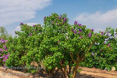 Adelaide Dunbar French Hybrid Lilac (Syringa vulgaris x)  Excellent double, deep reddish-purple. Intense large compound flowers.  Cold hardy to USDA zone 3.