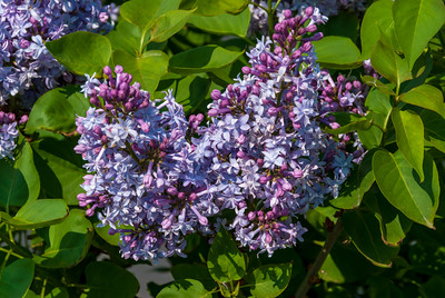 Alphonse Lavalee French Hybrid Lilac (Syringa vulgaris x) Double. Delicate lavender flowers in long compact panicles. Opens as intense blue then turns to a beautiful shade of lavender. Good fragrance.  Plant is tall and compact holding the bloom erect above the foliage. Vigorous grower.