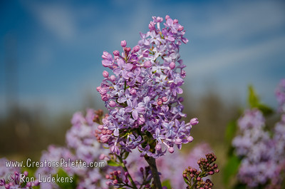 Blue Boy Descanso Hybrid Lilac (Syringa x hyacinthiflora 'Blue Boy') Lavender-pink buds opening to blue florets.  Single flowers. Early season bloom.  Developed in Southern California  - good for mild climate winters.  Mature height 8-10 ft., spread 6-8 ft.