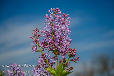 Blue Boy Lilac - Syringa x hyacinthiflora Lavender-pink buds opening to blue florets. Single flowers. Early season bloom. Developed in Southern California - good for mild climate winters. Mature height 8-10 ft. x 6-8 ft. spread. Cold hardy to U.S.D.A.  Zone 3.