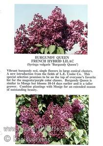 Burgundy Queen Flyer