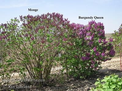 Burgundy Queen vs Monge 3