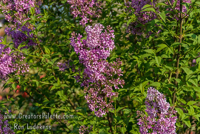 Chinese Lilac (Syringa rothomagensis aka Syringa x chinensis) Rounded habit with arching branches, more refined than common lilac. Highly fragrant, open panicles of purple-lilac flowers bloom up to 4 weeks; attracts butterflies.  Best in full sun; well-drained soil; tolerates dry, alkaline soils. Mature height and width to 10-12 feet.  Use in the Landscape: specimen, in masses, privacy screens or hedges, as shrub border. Cold hardy to U.S.D.A.  Zone 3.