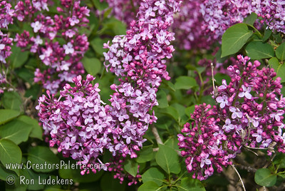 Clyde Heard Lilac - Syringa vulgaris x Exceptional hybrid lilac with beautiful, single, magenta flowers.  Consistent, solid bloomer. Mid to late season bloom.  Mature height is 6-10 feet and a spread of 6-8 feet.  Cold hardy to U.S.D.A.  Zone 3.