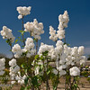 This is simply the most stunning white lilac I have seen.<br /> White colored, fragrant, single flowers in large panicles.  Long stems perfect for cut flowers.  The  bush is a prolific bloomer.  Early blooms, and longer display.  Blooms about 2 weeks before Edith Cavell and Madame Lemoine and nearly in time with Angel White.  Showy display lasts nearly two weeks.<br /> This is a careful selection from Syringa vulgaris  'Alba' seedlings.<br /> Mature height is 8-10 feet with a spread of 6-8 feet. <br /> Cold hardy to U.S.D.A.  Zone 3.