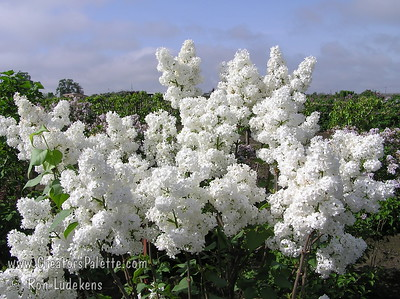 This is simply the most stunning white lilac I have seen. White colored, fragrant, single flowers in large panicles.  Long stems perfect for cut flowers.  The  bush is a prolific bloomer.  Early blooms, and longer display.  Blooms about 2 weeks before Edith Cavell and Madame Lemoine and nearly in time with Angel White.  Showy display lasts nearly two weeks. This is a careful selection from Syringa vulgaris  'Alba' seedlings. Mature height is 8-10 feet with a spread of 6-8 feet.  Cold hardy to U.S.D.A.  Zone 3.