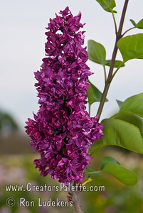 Dark Night Descanso Hybrid Lilac (Syringa x hyacinthiflora 'Dark Knight'  ) Darkest of the Descanso Hybrid Lilacs. The flowers are a deep rose lavender with some color carrying through to the foliage. The leaves exhibit a purplish cast.  A medium grower.