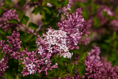 Dwarf Korean Lilac (Syringa meyeri 'Palibin') A dwarf, spreading lilac with reddish purple buds that open to fragrant, pale lilac flowers. Blooms profusely in midseason, typically mid-May, and first flowers at an early age. Use in shrub borders with an evergreen background or plant in groups to form a low hedge. Deciduous.  Cold hardy to USDA Zone 3.