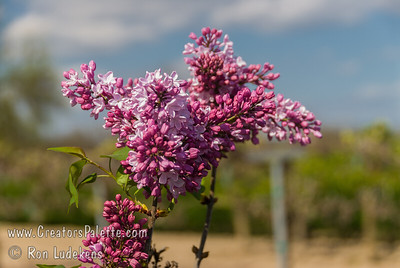Esther Staley Lilac (Syringa x hyacinthiflora) Single, pure pink flowers. Large tapered clusters, delightfully fragrant. Excellent heavy blooming variety.  Tall grower with long stems.  Low chill requirement, yet very hardy.