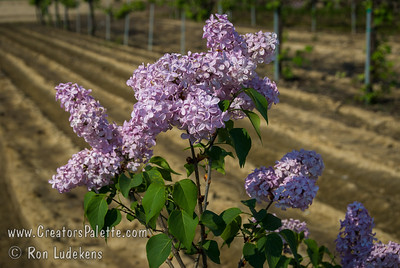 Esther Staley Lilac (Syringa x hyacinthiflora) Single, pure pink flowers. Large tapered clusters, delightfully fragrant. Excellent heavy blooming variety.  Tall grower with long stems.  Low chill requirement, yet very hardy. This photo is past peak bloom - starting to fade.