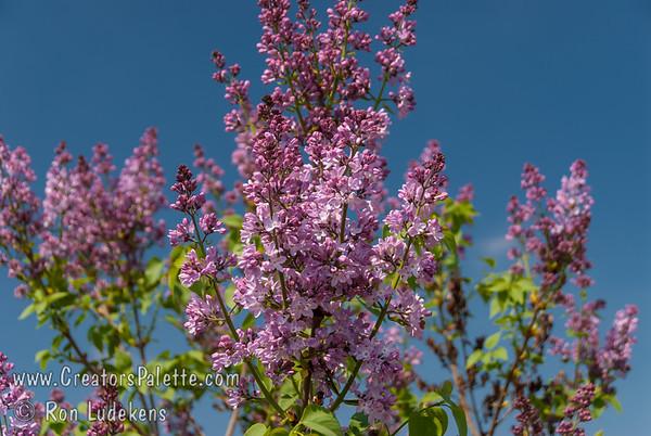 F.K. Smith Lilac