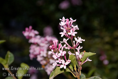 Littleleaf Lilac - Syringa microphylla 'Superba' ---------- Photo showing September 21 bloom on Littleleaf Lilac. ----------- Handsome, dense shrub with single, deep pink (pink-red) flowers.  The leaves are about 1/2 the size of those on the Common Lilac.  Grows twice as broad as it is tall.  Height to 6 feet, spread 9-12 feet.  Very floriferous.  Sporadic re-bloomer at the end of summer.  Heat tolerant.  Adaptable.  Mildew resistant.  Cold hardy to USDA Zone 5.