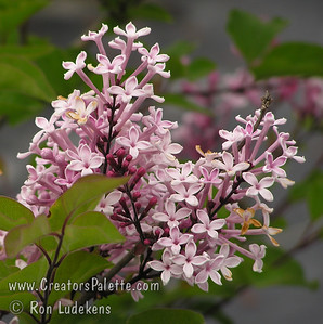 Littleleaf Lilac - Syringa microphylla 'Superba' Handsome, dense shrub with single, deep pink (pink-red) flowers.  The leaves are about 1/2 the size of those on the Common Lilac.  Grows twice as broad as it is tall.  Height to 6 feet, spread 9-12 feet.  Very floriferous.  Sporadic re-bloomer at the end of summer.  Heat tolerant.  Adaptable.  Mildew resistant.  Cold hardy to USDA Zone 5.