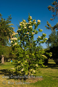 Pekin Tree Lilac - Syringa pekinensis Slender, round topped small tree to 15 feet tall.  Clusters of creamy-whit spring flowers in mid to late June.  Dark leaves.  Beautiful, papery thin, curling bark as tree ages.  Cold hardy to USDA Zone 3.